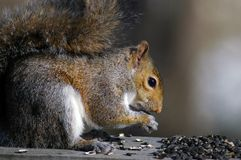 Squirrel Feeding. Sunflower seeds Royalty Free Stock Photo