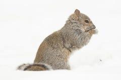 Squirrel Feeding  Stock Photos