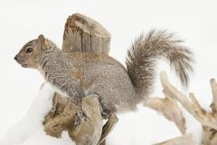 Squirrel Feeding  Royalty Free Stock Photography