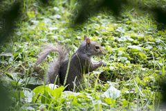 Squirrel feeding in grass stock photo