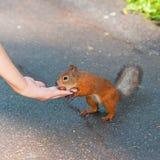 Squirrel feeding Stock Photo