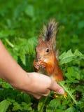 Squirrel feeding Stock Images