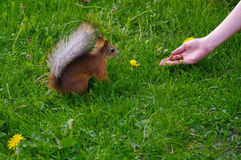 Squirrel feeding from the hand on a green medow Stock Photos