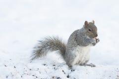 Squirrel Feeding Isolated Stock Photos