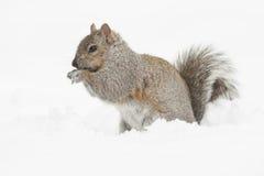 Squirrel Feeding Isolated Stock Image