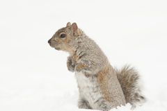 Squirrel Feeding Isolated Royalty Free Stock Image