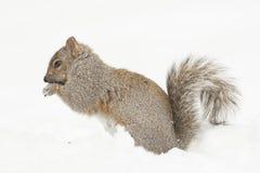 Squirrel Feeding Isolated Stock Photo