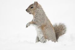Squirrel Feeding Isolated Royalty Free Stock Photos