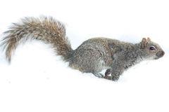 Squirrel Feeding Isolated. Baby american squirrel feeding on a nut perched in snow Stock Photography