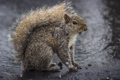 Squirrel. Feeding during a snow Stock Image