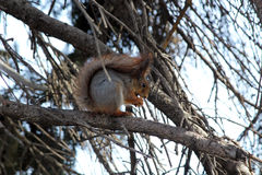 Squirrel feeds on a tree branch Stock Image
