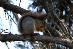 Squirrel feeds on a tree branch Royalty Free Stock Photo