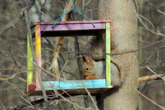 The squirrel feeds in a wooden bird feeder Stock Photos