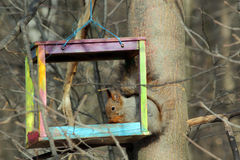 The squirrel feeds in a wooden bird feeder Royalty Free Stock Photography