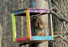 The squirrel feeds in a wooden bird feeder. The squirrel feeds in the spring in a colorful homemade wooden bird feeder in the park Stock Photography