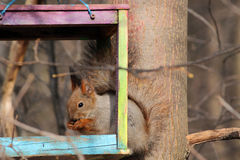 The squirrel feeds in a wooden bird feeder. The squirrel feeds in the spring in a colorful homemade wooden bird feeder in the park Royalty Free Stock Images
