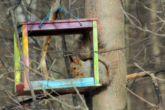 The squirrel feeds in a wooden bird feeder. The squirrel feeds in the spring in a colorful homemade wooden bird feeder in the park Stock Images