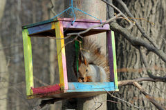 The squirrel feeds in a wooden bird feeder. The squirrel feeds in the spring in a colorful homemade wooden bird feeder in the park Stock Photo