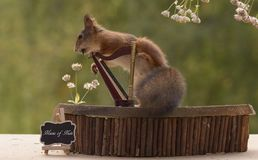 Squirrel with  feet on a harp Stock Photography