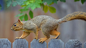Squirrel on a Fence. An investigative Squirrel walking along the fence Royalty Free Stock Photo
