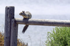 Squirrel on a Fence. A squirrel is perched on top of an old wooden fence Royalty Free Stock Images