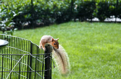 Squirrel on fence Stock Photography