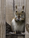 Squirrel on Fence Eating a Peanut Stock Photography