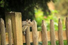 Squirrel on the fence Stock Photos