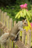 Squirrel on the fence Royalty Free Stock Photos