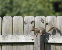 Squirrel on the fence. A grey squirrel running along the top of a wood fence royalty free stock images