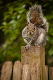 Squirrel on the fence Royalty Free Stock Image