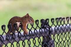 Squirrel on a fence Royalty Free Stock Image