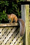 Squirrel on Fence Stock Image