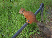 Squirrel on fence Royalty Free Stock Photos
