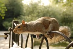 A squirrel on the fence in park Stock Photography