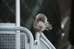 Squirrel on a fence Stock Image