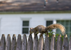 Squirrel on fence Stock Images