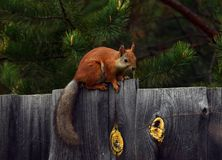 Squirrel. On the fence wildlife Royalty Free Stock Photography