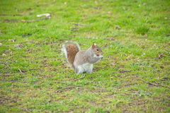 Squirrel in a field. A little squirrel standing alone in a green field Royalty Free Stock Photos