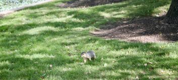 Squirrel in a field Royalty Free Stock Photo