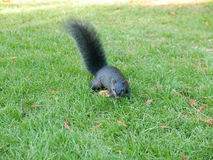 Squirrel finding food on the ground Royalty Free Stock Image