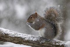 Squirrel Finds Food in a Winter Snow Storm stock photography