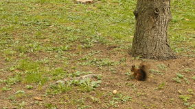Squirrel finds the Nut in the Park stock footage