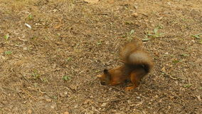 Squirrel finds the Nuts in the Ground stock footage