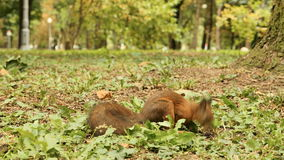 Squirrel finds the Nuts in the Park stock footage