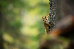 Squirrel from Finland. Finnish nature. Beautiful Scandinavian nature. Wild nature. Beautiful picture. European nature. Free nature stock photo
