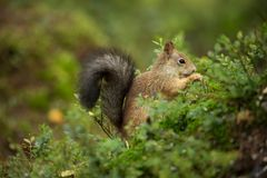 Squirrel from Finland. Finnish nature. Beautiful Scandinavian nature. Wild nature. Beautiful picture. European nature. Free nature royalty free stock photos