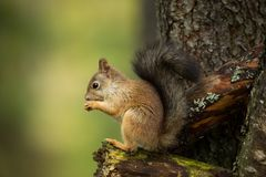 Squirrel from Finland. Finnish nature. Beautiful Scandinavian nature. Wild nature. Beautiful picture. European nature. Free nature royalty free stock image