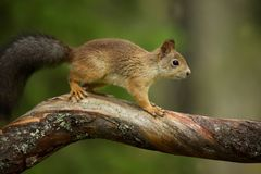 Squirrel from Finland. Finnish nature. Beautiful Scandinavian nature. Wild nature. Beautiful picture. European nature. Free nature royalty free stock photography