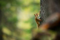 Squirrel from Finland. Finnish nature. Squirrel on a tree in Finnish wildlife stock photos